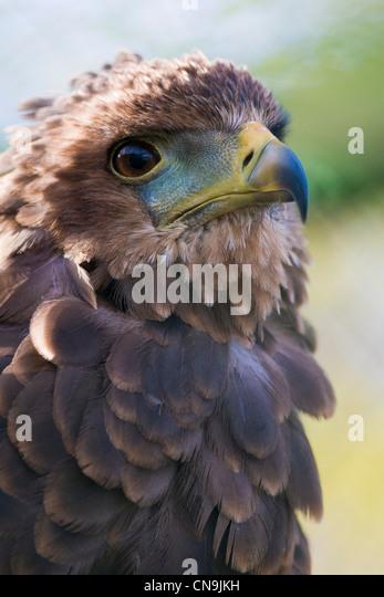 Bateleur Eagle - Terathopius ecaudatus - Stock Image