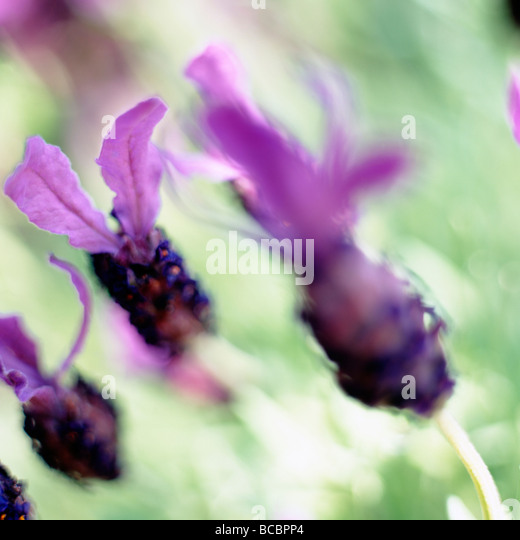 gorgeous fine art image of french lavender fine art photography Jane Ann Butler Photography JABP496 - Stock Image