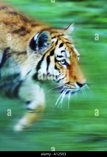 Tiger prowling - Stock Image