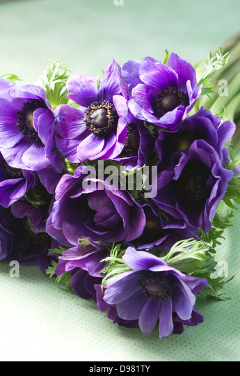 Portrait close-up shot of a bunch of purple Poppy Anemones or Spanish Marigolds on a table top by a window. - Stock Image