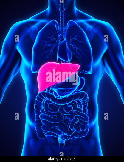 Human anatomy liver