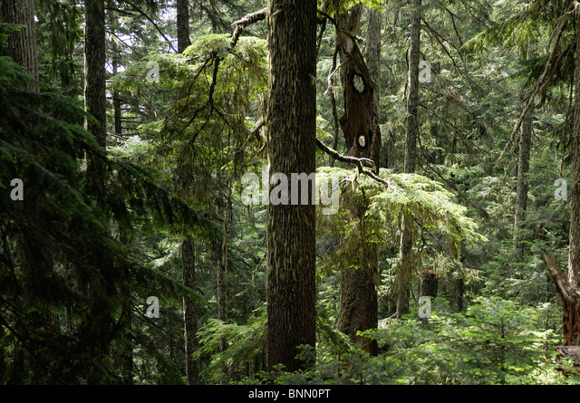 Forest Lookout Mountain Trail Mt. Baker Snoqualmie National Forest Marblemount North Cascades National Park Washington - Stock Image