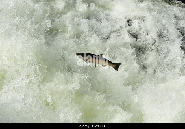 Coho or Silver Salmon, Oncorhynchus kisutch, Sol Duc river, Olympic National Park, Washington - Stock Image