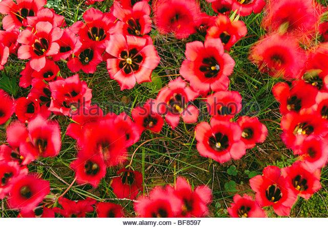 Ruby romulea, Romulea sabulosa, Niewoudtville, South Africa - Stock Image