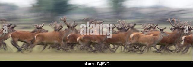 Red deer (Cervus elaphus) stags running, Oostvaardersplassen, Netherlands, June 2009 - Stock Image