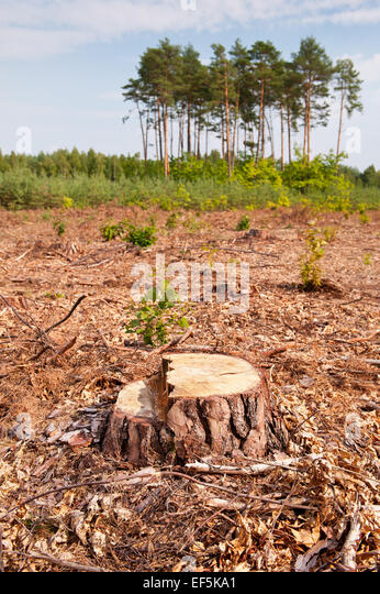 Woods lone stump after deforestation blast woods - Stock Image