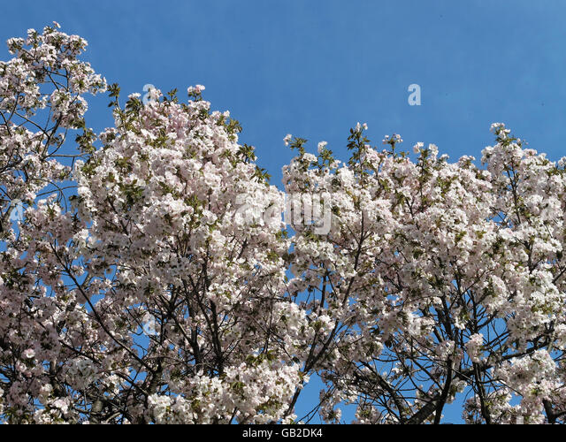 White cherry blossoms flowers against blue sky. - Stock Image