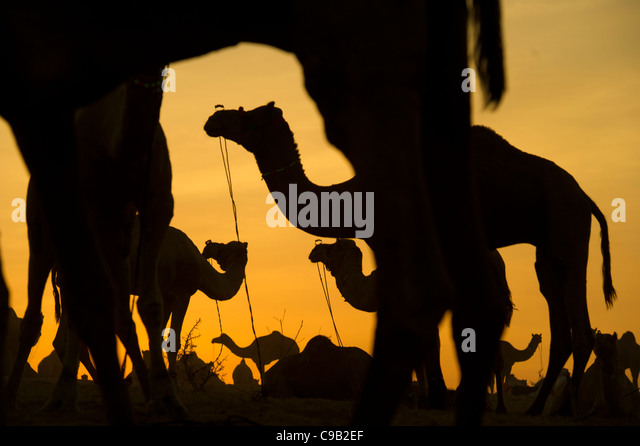 Camel traders collect water for their livestock at the world's largest annual cattle fair in the desert town - Stock Image