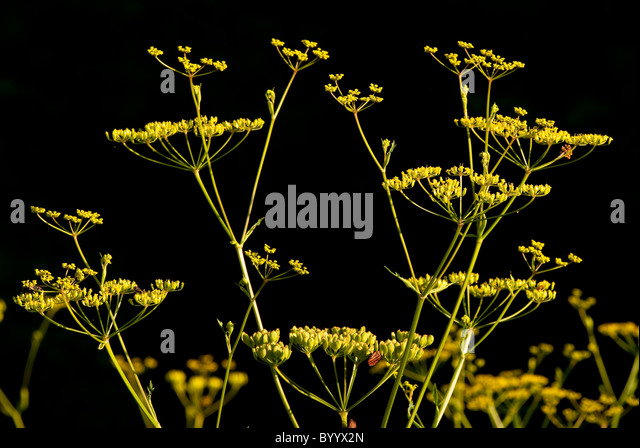 Parsnip (Pastinaca sativa), seeds. - Stock Image