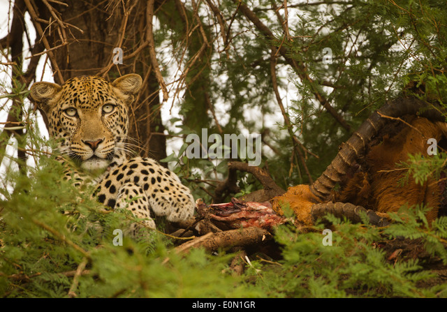 African Leopard in tree with kill, Samburu Game Reserve, Kenya, Africa (Panthera pardus) - Stock-Bilder