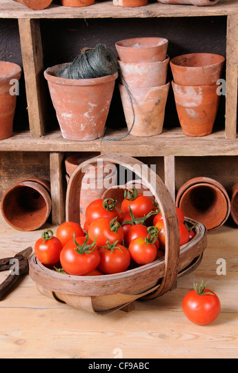 Freshly picked home grown tomatoes in trug in rustic potting shed setting. - Stock-Bilder