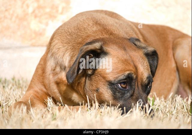 Dog With Sheepish Expression - Stock Image