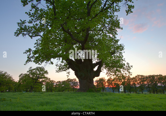 Old oak tree at sunset, Reinhardswald, Hesse, Germany, Europe - Stock Image