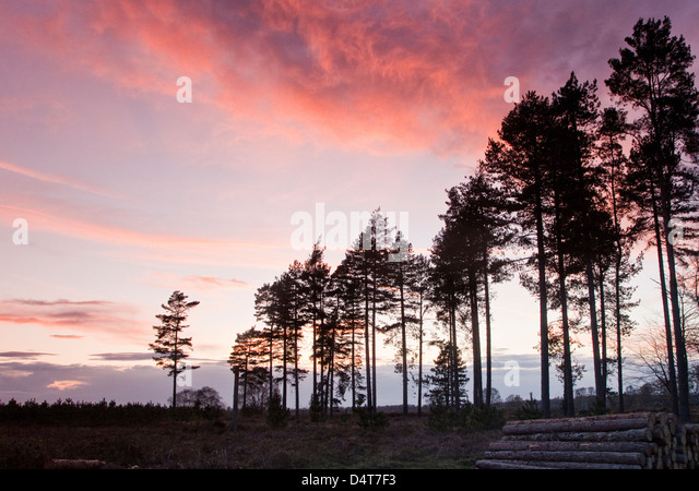 Twighlight or Dusk on Cannock Chase Area of Oustanding Natural Beauty in Spring Staffordshire Engalnd UK - Stock-Bilder