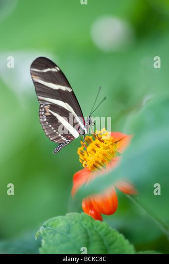 Zebra longwing butterfly - Stock Image