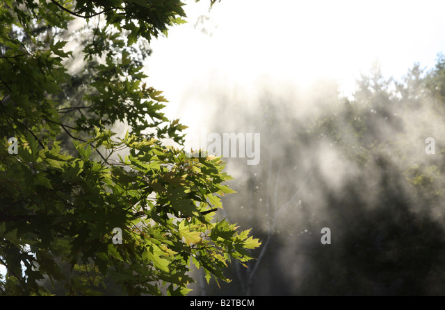 Maple Tree in sunlight beams - Stock Image