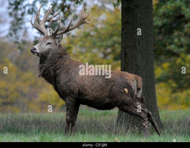 An adult male red deer stag partly covered in mud. - Stock Image