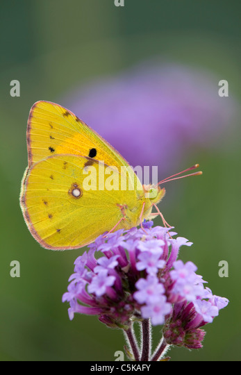 Clouded Yellow Butterfly; Colias croceus; on verbena flower - Stock Image