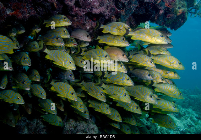 Mass of schooling fish. - Stock Image