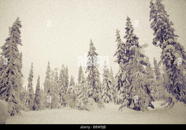 Snow laden trees - Stock Image