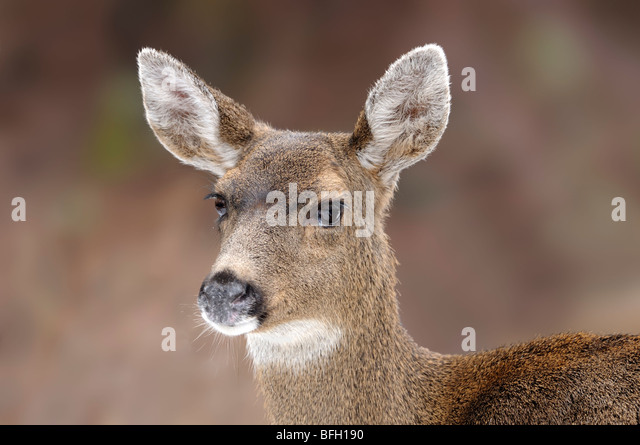 Mule Deer (Odocoileus Hemionus) portrait - Stock Image