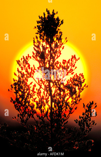 Sun setting behind roadside weed, Indre, France. - Stock Image