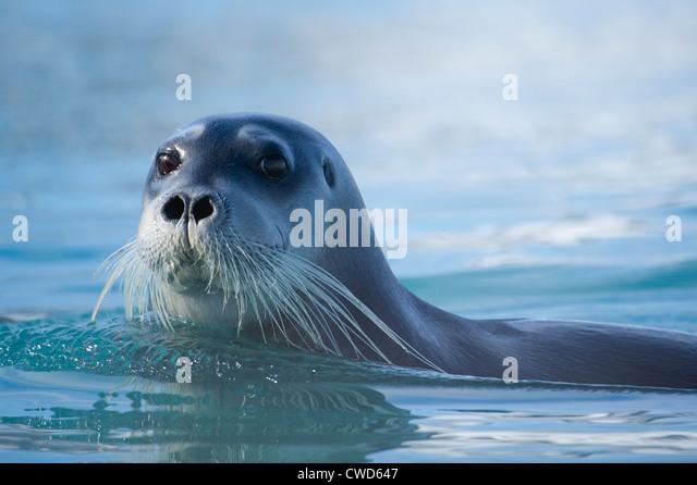 Bearded seal, Erignathus barbatus, Monaco glacier, Woodfjorden, Spitsbergen, Svalbard, Arctic - Stock-Bilder