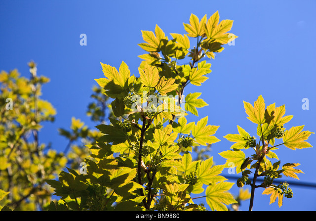 Young Sycamore leaves glowing against a blue sky - Stock Image