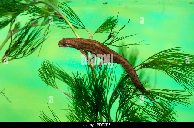 Common newt or smooth newt, Triturus vulgaris, Midlands, July 2009 - Stock-Bilder