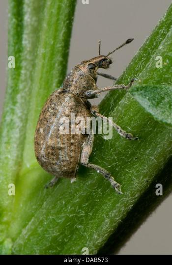 Clay-coloured weevil, Otiorhychus singularis, adult with damage antenna - Stock Image