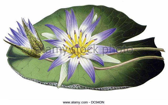 water lily Nymphaea nouchali - Stock-Bilder