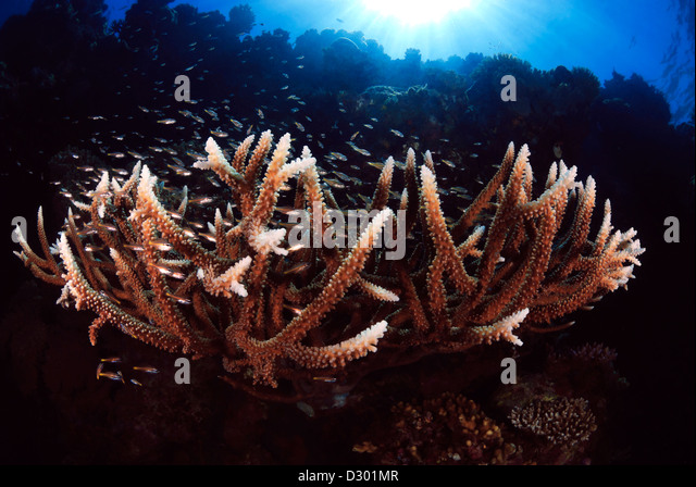 Staghorn Coral Acropora formosa with Reef Fish, Great Barrier Reef, Coral Sea, Pacific Ocean, Queensland, Australia - Stock Image