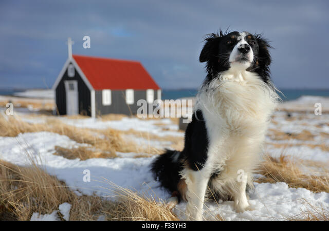 a dog in front of the church at Bjarnarhofn, Snaefellsness Peninsula, Iceland - Stock-Bilder