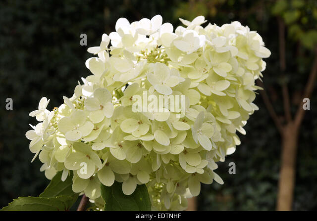 panicle hydrangea stock photos panicle hydrangea stock images alamy. Black Bedroom Furniture Sets. Home Design Ideas