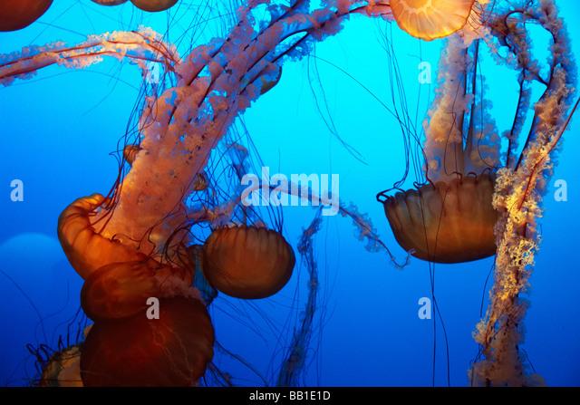 orange jelly fish, nettle jellyfish - Stock Image
