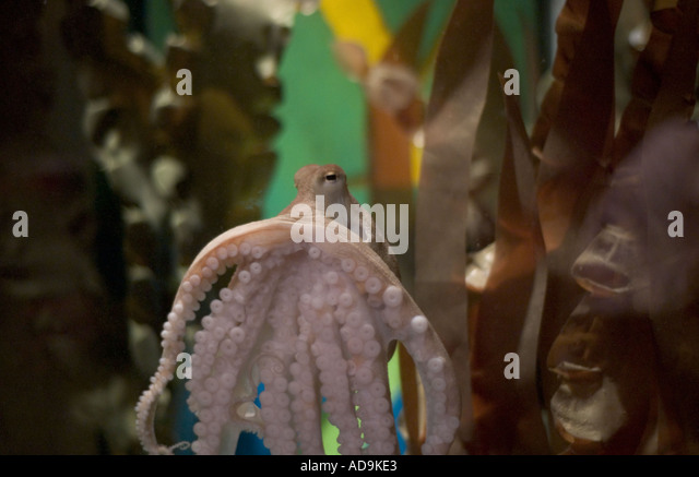 Octopus tank stock photos octopus tank stock images alamy for Octopus fish tank