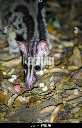 Captively bred Owston's Civet (Chrotogale owstoni), Save Vietnam's Wildlife/Carnivore & Pangolin Conservation - Stock-Bilder