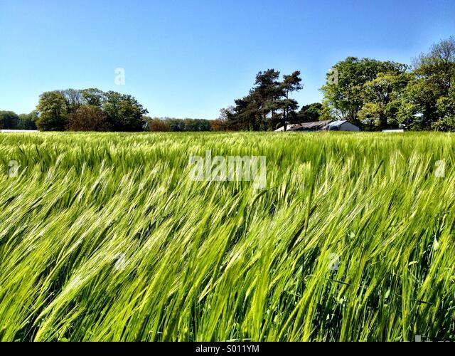 Barley field - Stock Image