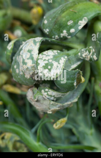White rust or white blister fungal disease on broccoli - Stock Image