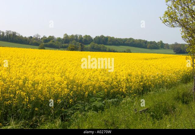 Oil Seed Rape - Stock-Bilder