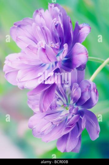 Tulipa 'Blue spectacle', Tulip - Stock Image