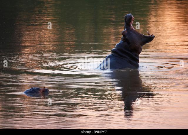 yawning hippopotamus in a river, Kruger National Park, South Africa - Stock-Bilder