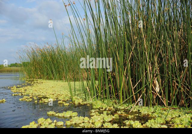 Least Bittern (Ixobrychus exilis), adult in reeds in lake habitat, Fennessey Ranch, Refugio, Coastal Bend, Texas - Stock Image