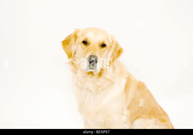 Golden Retriever looking to camera - Stock Image