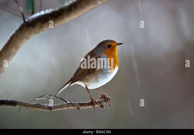 Robin in snow. - Stock Image