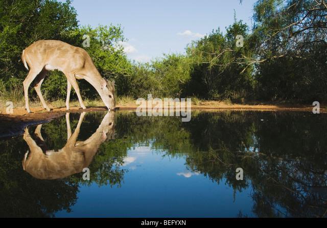 White-tailed Deer (Odocoileus virginianus), buck drinking, Rio Grande Valley, Texas, USA - Stock Image