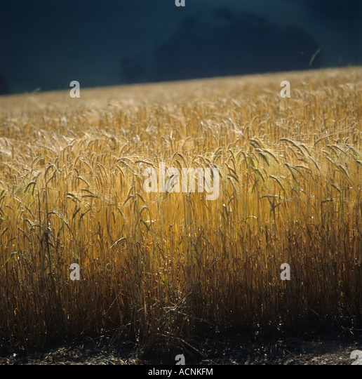 contre jour of ripe barley ears against a dark background - Stock Image