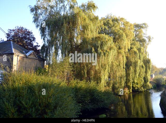 Weeping trees on a river under the sun. - Stock Image