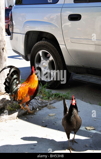 rooster roosters stock photos rooster roosters stock images alamy. Black Bedroom Furniture Sets. Home Design Ideas