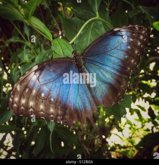 Blue Morpho (Morpho peleides) butterfly - Stock Image